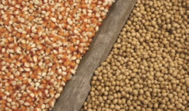 corn and soybean seed